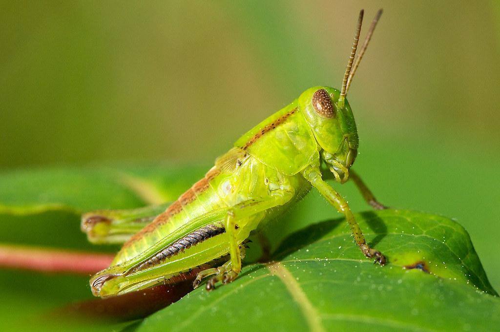 Immature Differential Grasshopper, Ontario