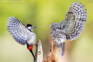 Little Owl and Great Spotted Woodpecker Fight | by iesphotography