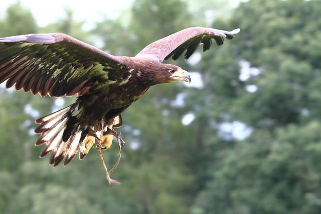 White tailed or Sea Eagle at ICBP