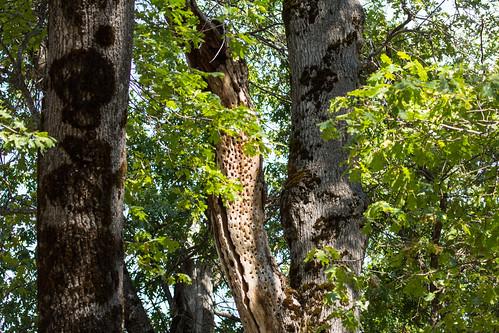 Acorn Woodpecker tree