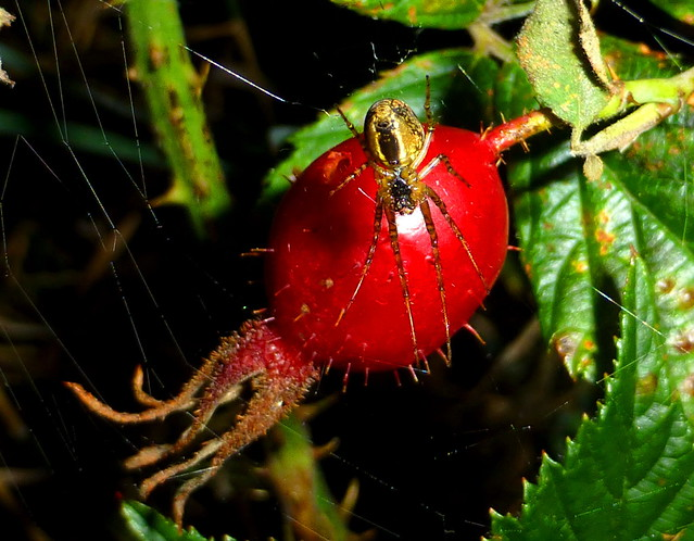 Rosehip (excuse the spider!) :)