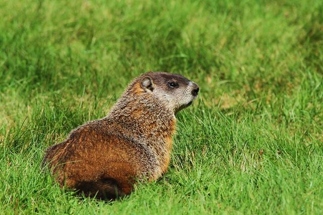 2 marmotte