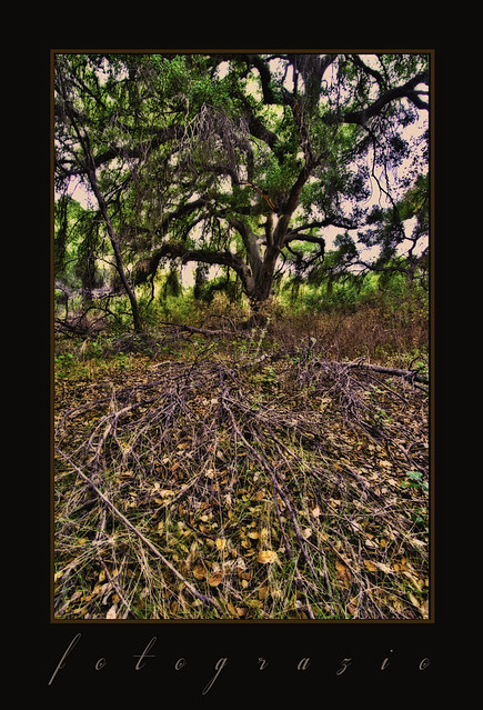Old oak and ground cover