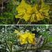 Flickr photo 'Solanum rostratum' by: Dick Culbert.