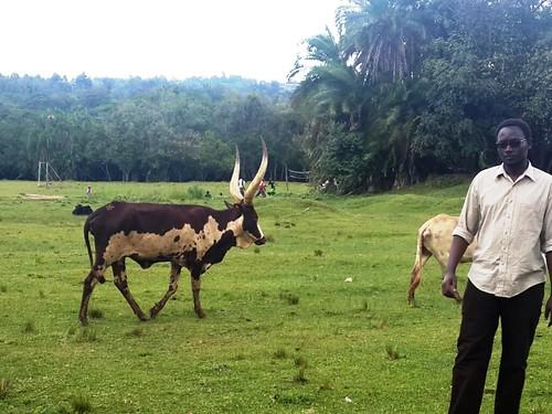 cattle kenya orphanage conservancy ankole kitale