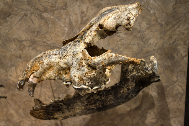 Canis dirus skull and mandible, McClung Museum, Knoxville, Tennessee