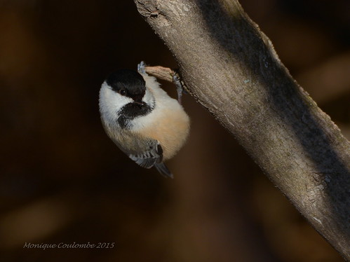 Mésange à tête noire - Black-capped Chickadee | by Monique Coulombe