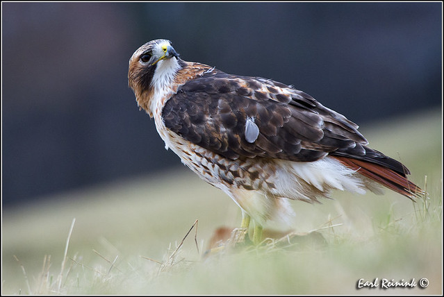 Red-tailed Hawk (20121218-0074)