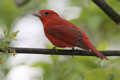 PC0089 Summer Tanager | by mccormacka