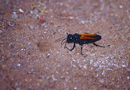 Sand Wasp (Prionyx crudelis)   by berniedup
