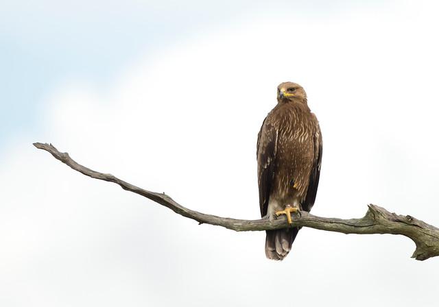 Lesser Spotted Eagle, Aquila pomarina, (ringed), Hwange National Park, Zimbabwe, Dec 12 (81)