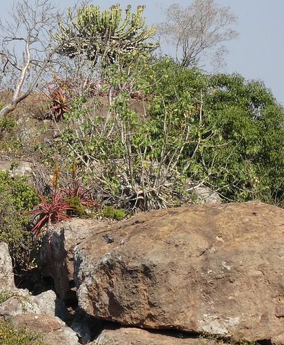 succulent mozambique boane naturalhabitat maputoprovince taxonomy:binomial=aloespicata