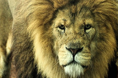 Lion - Whipsnade Zoo | by Airwolfhound
