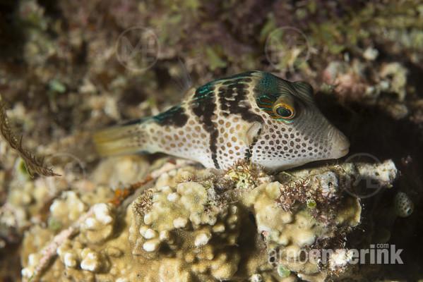 Valentin's Sharpnose pufferfish by Arno Enzerink
