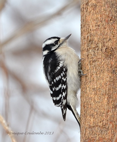 Pic mineur femelle - Downy Woodpecker female | by Monique Coulombe