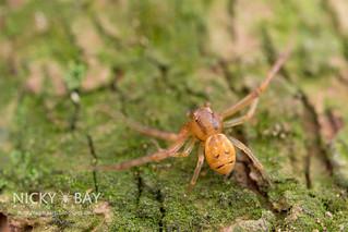 Crab Spider (Thomisidae) - DSC_0672