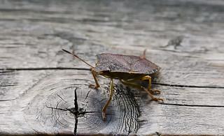 Shield Bug | by Dennis Hst