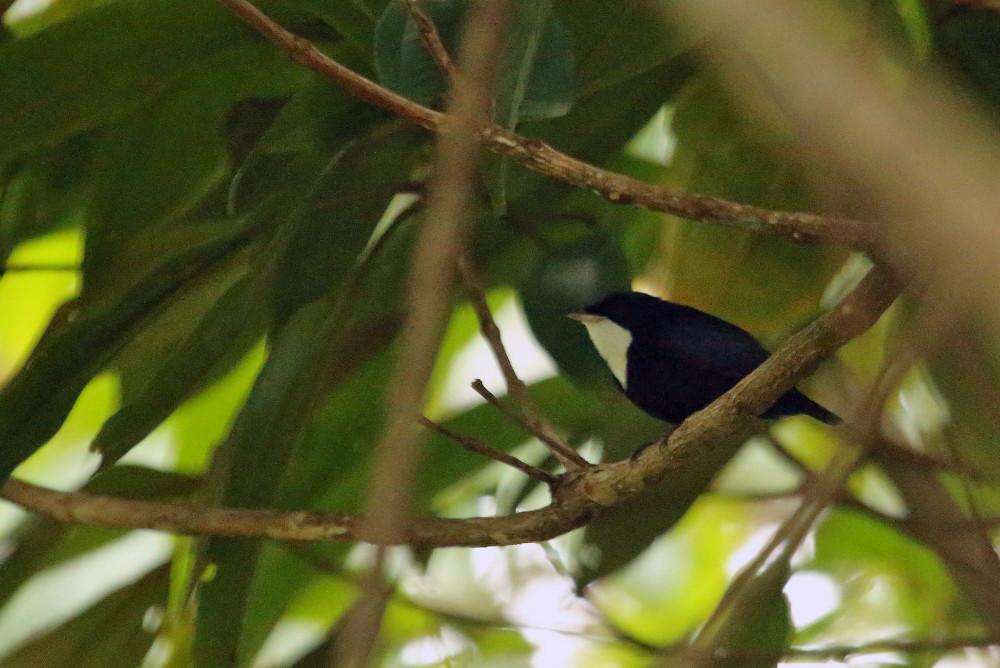 White-throated manikin Turtle Mountain Iwokrama Forest in Guyana