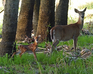 doe and fawn | by foxtail_1