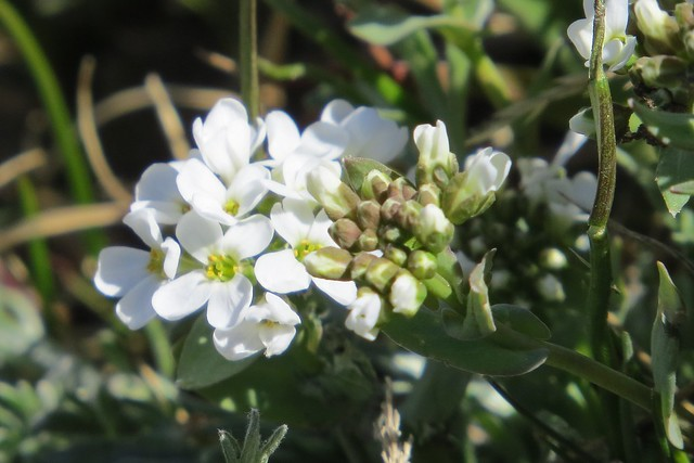 Mountain Candytuft