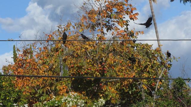 IMG_8833 crows in persimmon goleta