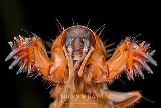 Mole Cricket (Gryllotalpidae) - DSC_1272   by nickybay