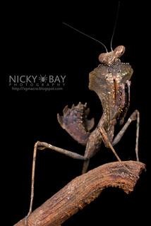 Dead Leaf Mantis (Deroplatys sp.) - DSC_3092 | by nickybay