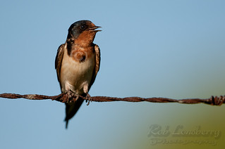 Barn Swallow | by Rob Lonsberry Photography