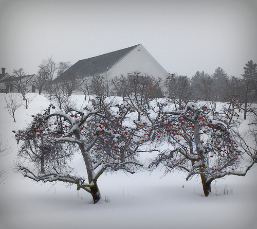 morning trees winter snow landscape scenery newengland newhampshire apples appleorchards