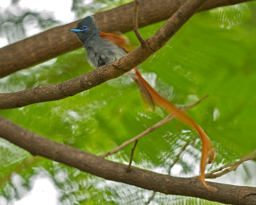 Paradise Flycatcher (Explored), Terpsiphone viridis, Msuna Fishing Resort, Zambezi River, Zimbabwe5