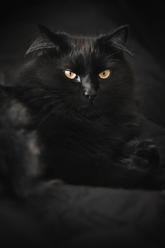 Beautiful Black Cat On A Black Background Selective Focus Flickr