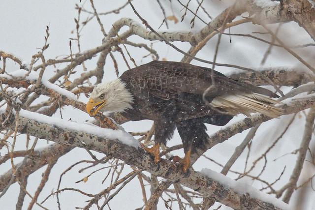 Eagle eating snow