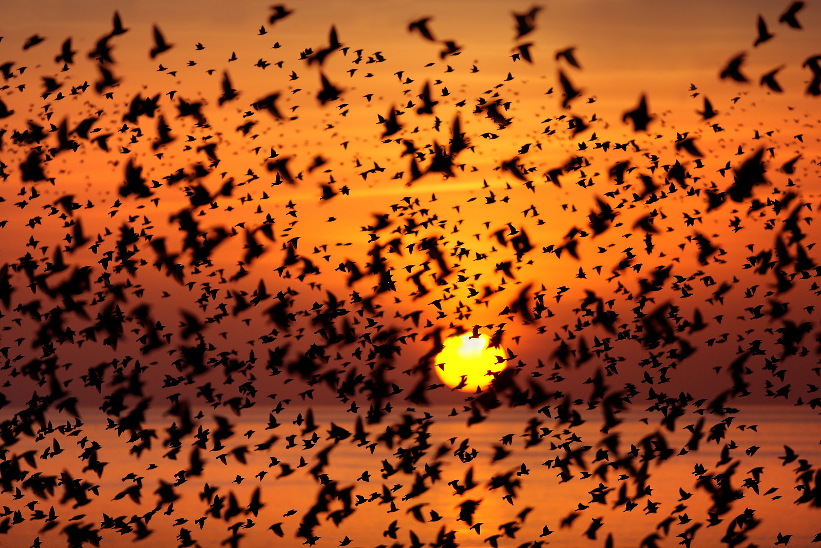 Starling Murmuration and Sunset
