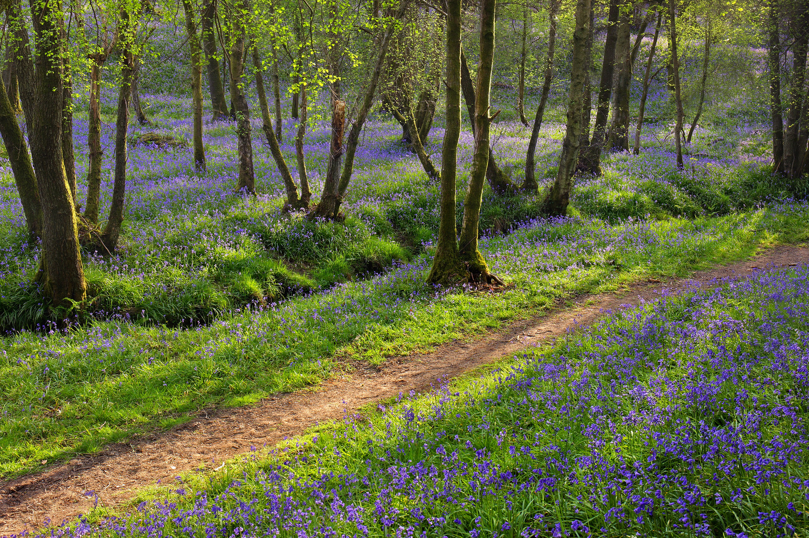 Bluebell Woodland, West Sussex