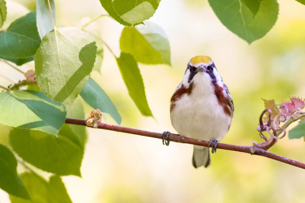 Chestnut-sided Warbler-5.jpg