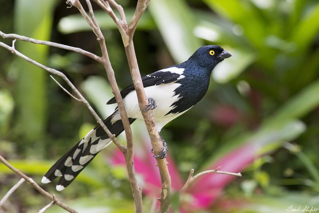 Magpie Tanager (Cissopsis leverianus)