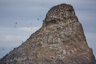 Bird Rock with Common Murres (Uria aalge) and Brandt's Cormorants (Phalacrocorax penicillatus), Heceta Lighthouse , OR IMG_0229 | by Hart Walter