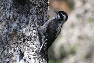 American Three-toed Woodpecker | by Linda Bushman