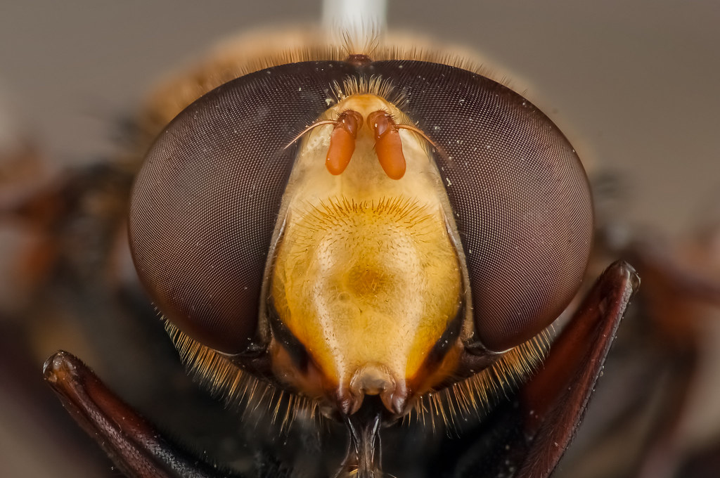 Eye of a Hover fly