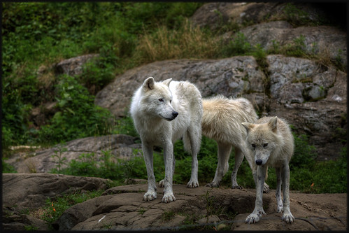 park wild canada nature animal forest wolf quebec omega arctic safari loup foret parc polaire montebello singleraw