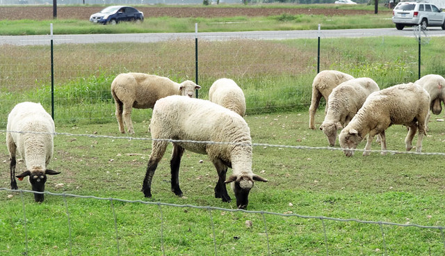 texas sheep pictures