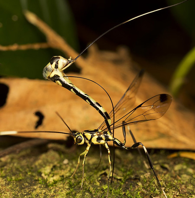 giant ichneumon wasp 2 shot pano.top and bottom.