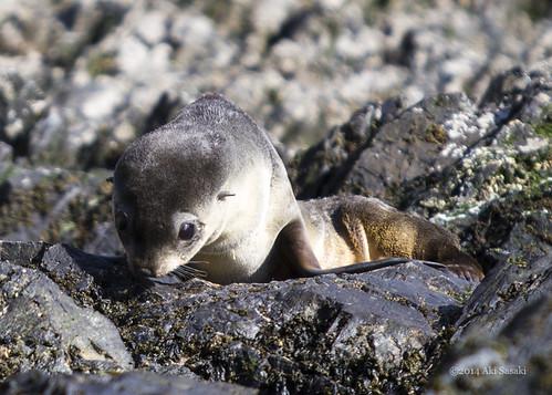 Fur seal rescue 2/6   by escapewindow