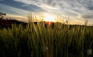 Crops at sunset   by Jovo Milanovic