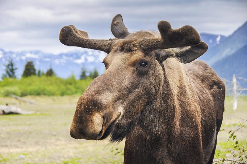 Moose on the Alaska Highway, British Columbia, Canada.