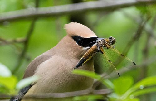 Cedar Waxwing devouring a dragonfly.
