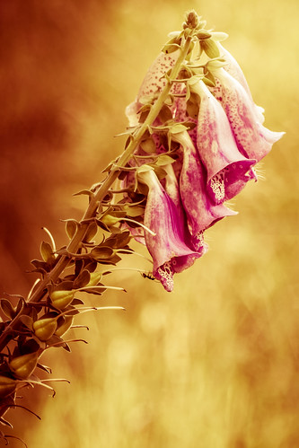 The Ant On The Foxglove