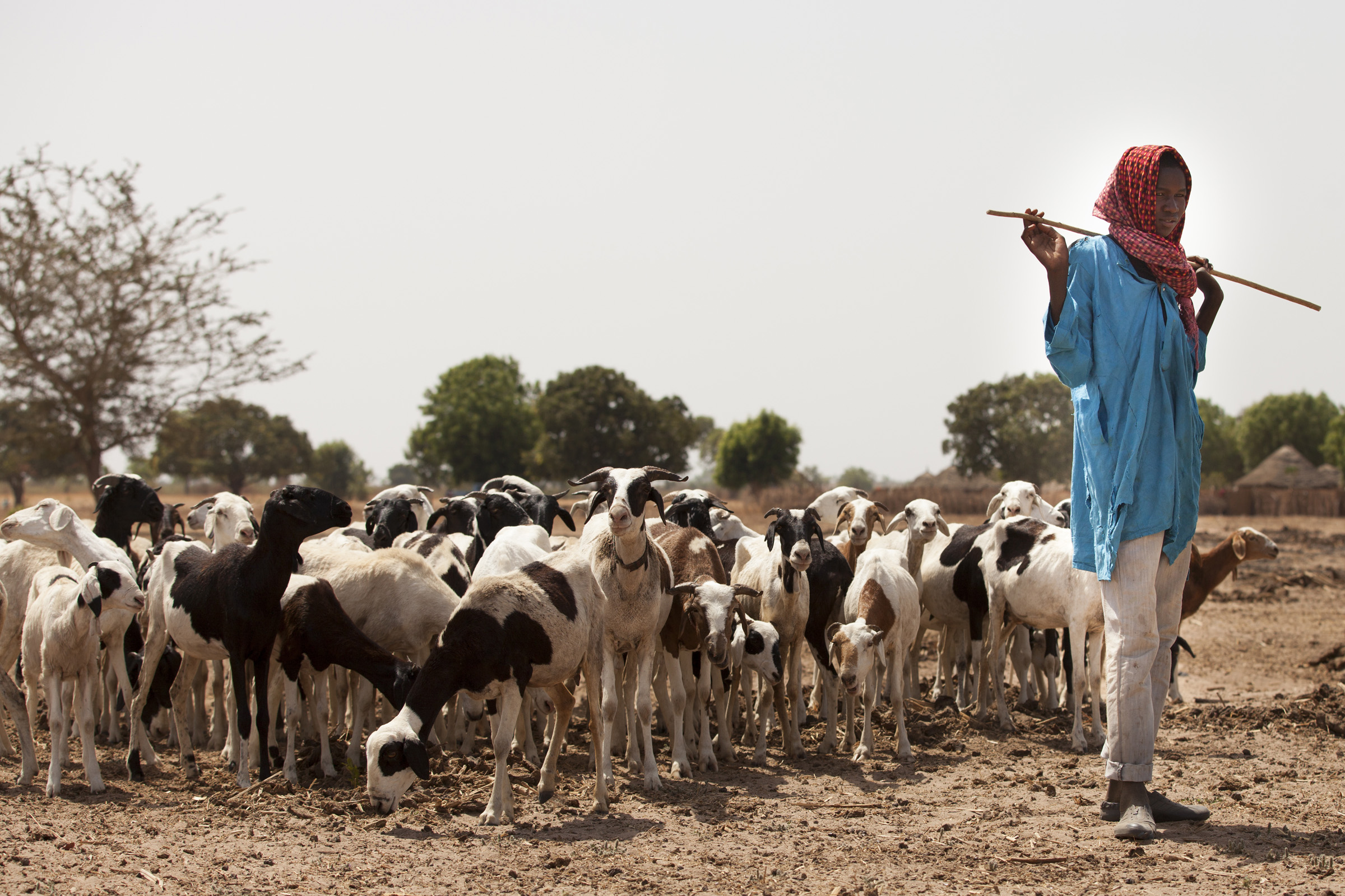 Shepherd and his flock (Senegal).