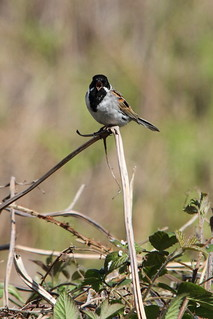 Male Reed Bunting | by Paul Marfell