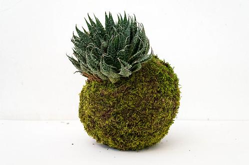 Aloe aristata   by gergelyhideg